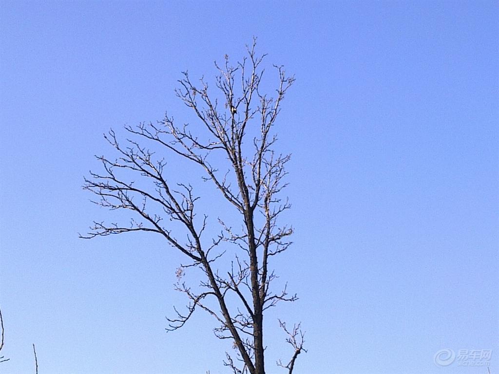 一棵香椿树枝条飞舞,在蓝天下摇曳生姿!