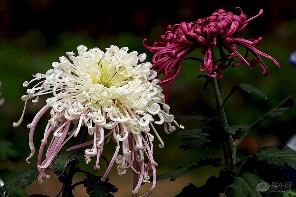 菊花施用有机肥的技术