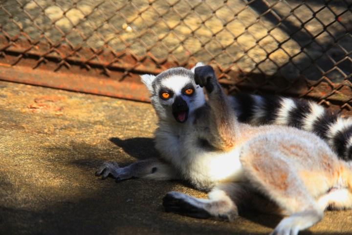 环尾狐猴属于原始灵长类,吻长、两眼侧向似狐,因尾具环节斑纹而得名。多5-20成群,栖多石少树的干燥地区,各有自己的领域。善跳跃攀爬,是地栖性较强的狐猴,主食昆虫、水果。3岁性成熟,孕期约4个半月,多为双仔。繁殖期在哺乳动物中最短,每年仅两周,一只雌猴接受雄猴的时间不足一天。寿命约18年。 环尾狐猴分布于非洲马达加斯加岛南部和西部的干燥森林中,生活在疏林裸岩地带。环尾狐猴被列入《濒危野生动植物种国际贸易公约》.