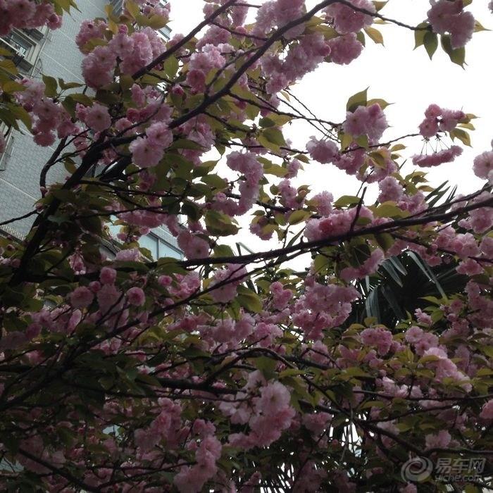 樱花 首发/院子里的一株,光线比较差