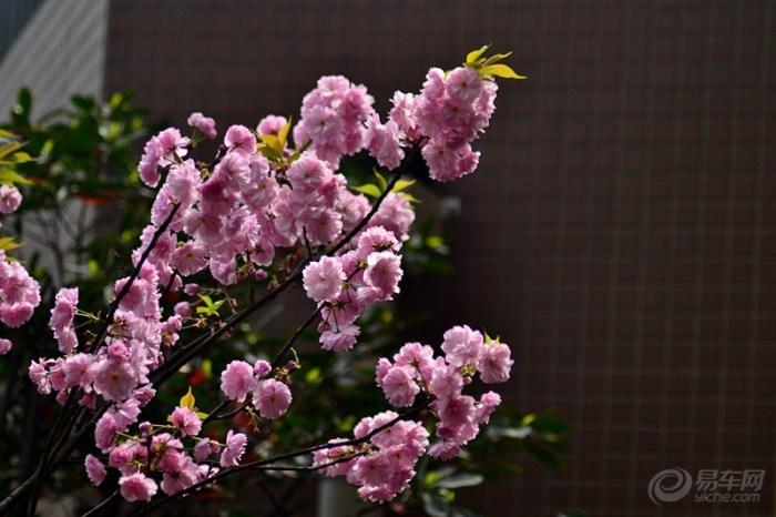 樱花 云南/樱花是樱树的花,在分类学上属于蔷薇科樱属,和樱桃同属蔷薇科...