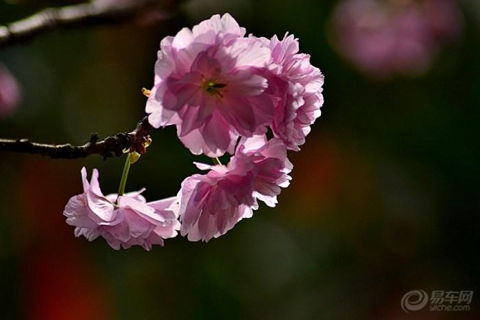 樱花/樱花是樱树的花,在分类学上属于蔷薇科樱属,和樱桃同属蔷薇科...
