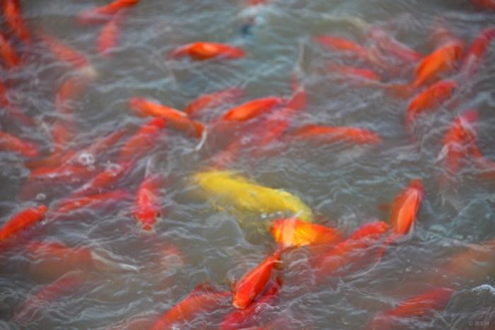 世界的鱼类,据说有3万-5万种,其中可供观赏的包括海水鱼,淡水鱼有2-3千种,而实 海水鱼际普遍饲养和常见的只有500种左右。 观赏鱼主要包括海水鱼、热带鱼、中国金鱼、锦鲤鱼、其它淡水鱼、在分类上依照习惯叫法,分类不一定正确。热带鱼:包括脂鲤科、鲤科、鱼科、慈鲷科、攀鲈科、鳅科、鲶科等 ,龙鱼:属热带鱼中的古代鱼类 ,七彩神仙鱼:本属热带鱼中的慈鲷科 。中国金鱼:本属我国的国粹,但已在国外培育出许多新品种。 锦鲤鱼:许多国家均有培育,但以日本产的品种最好。 海水鱼:品种极多,能在水族箱中饲养的只有数百种。