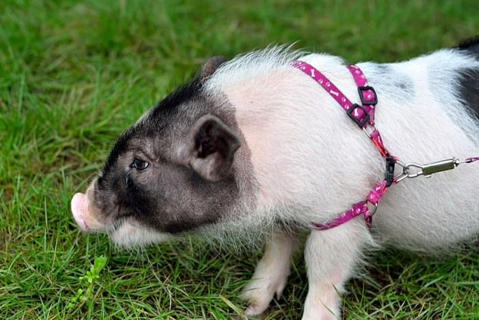 家猪太大。所以,小巧一点、漂亮一点的猪,就成为人们追逐的对象了。先是从国外引进的品种有:泰国香猪、日本香猪,国内的有台湾香猪等等。这类猪很漂亮,但价格也很高,一般一头小猪要价3、5千不等。这类猪,一般都是经过多次筛选、培育出来的小猪。生长缓慢、个头不大、花色漂亮等特点。但最终小猪都能超过20多斤,有的还能达到四、五十斤。后来发现,我国的巴马香猪也很漂亮,个头也不大,生长也很缓慢。于是,巴马香猪,也成了宠物猪。但是,一般的巴马香猪还是会长到35-40公斤。所以,怎样让小香猪长不大成了养殖香猪的一个新课题。坐