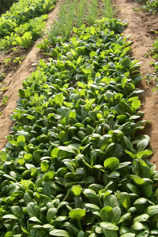 油菜露地栽培