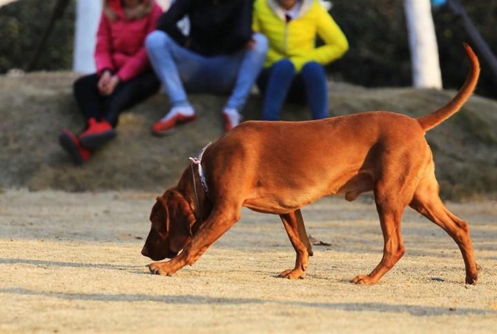 当地人们知晓有专门狩猎浣熊的猎犬