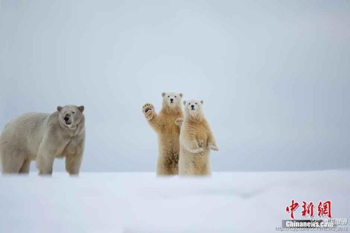 """两只可爱的北极熊宝宝并排站立,正看着别的北极熊""""一家""""走过."""