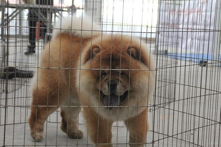 【笼子里的松狮犬.】_宠物当家论坛