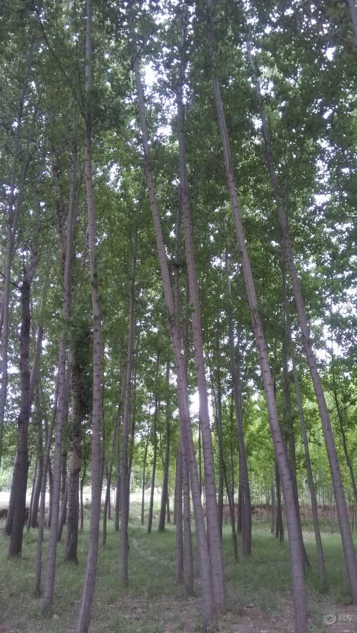 【【朗动每日易拍】杨树林】图片