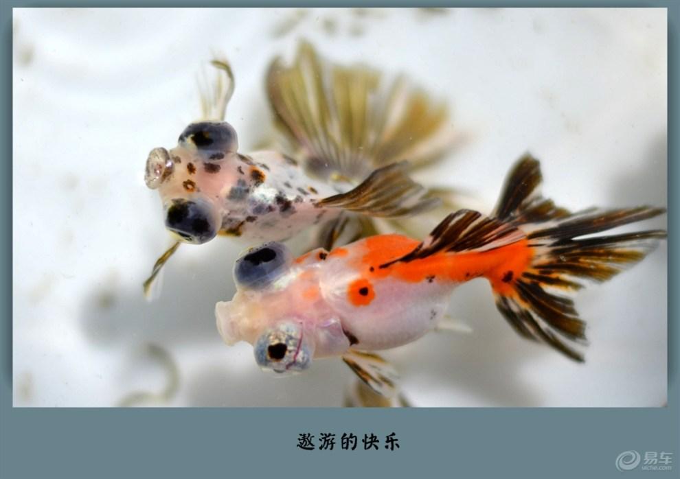 【【治愈系萌宠】五花龙睛】_宠物当家论坛图