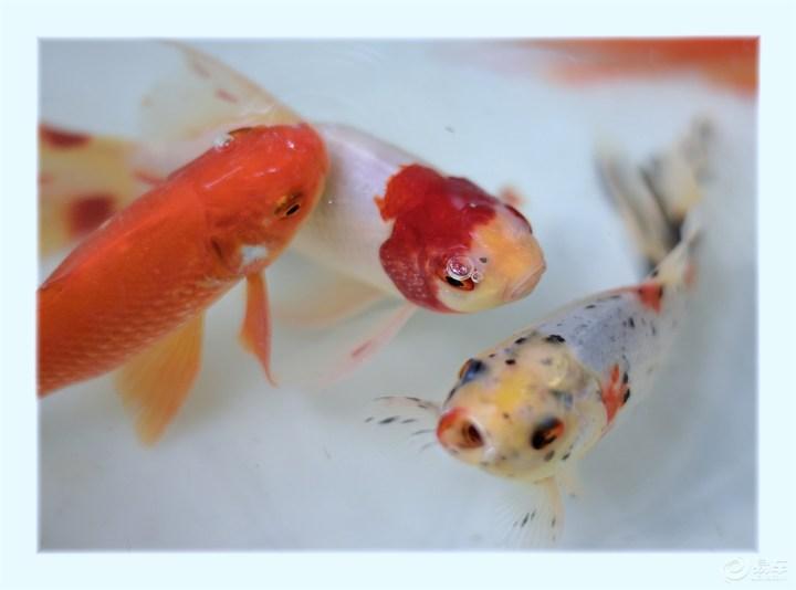 【治愈系萌宠】可爱的金鱼