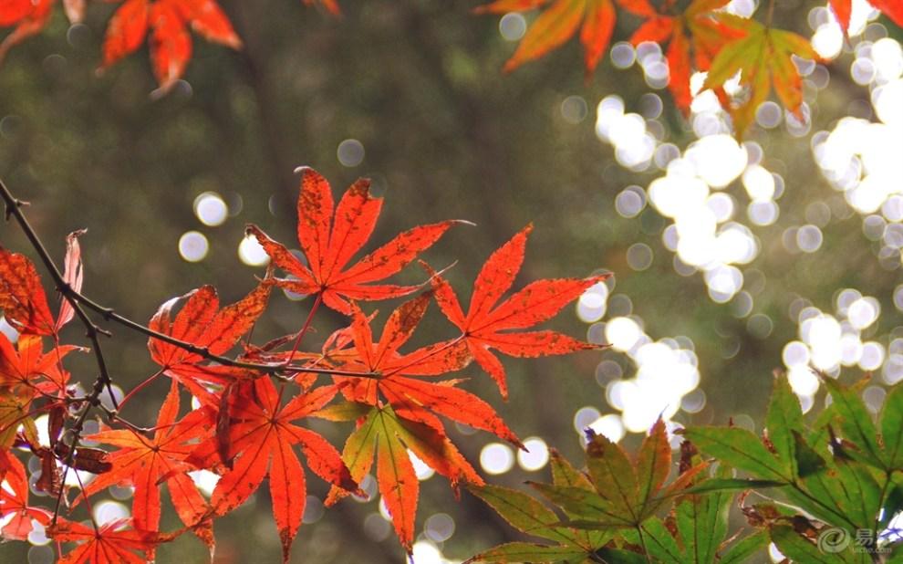 【巍巍雪山】一览初冬红叶、银杏、无名小花~