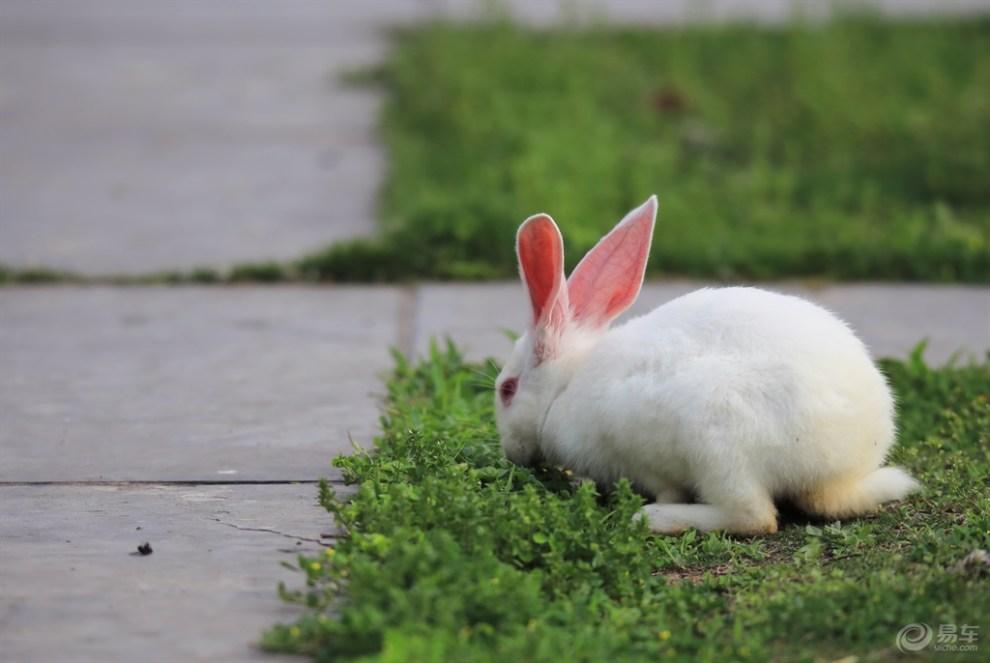 青草地上小白兔