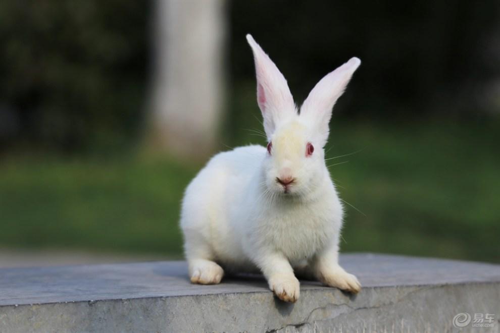 可爱的小白兔