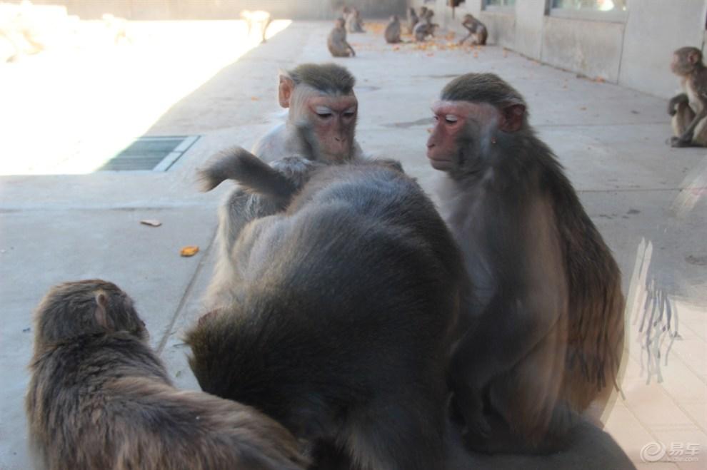 天津动物园猩猩猴山篇3
