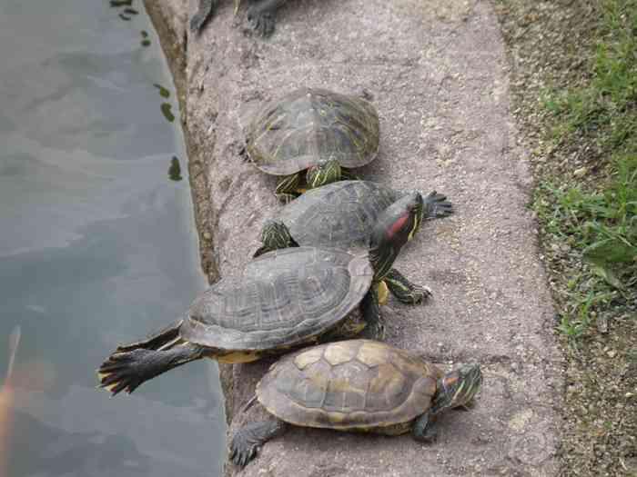 小乌龟上水晒太阳,伸懒腰:lol :lol