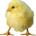 小鸡鸡无敌