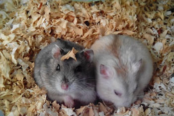 两只肥肥的小仓鼠生宝宝啦